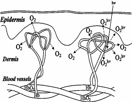 Illustration of laser-induced tissue oxygenation caused by photodissociation of arterial blood HbO2