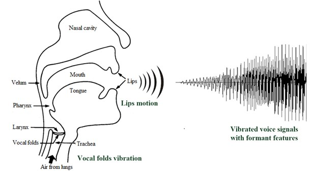 The structure of vocal folds and lips of a singer, and vibrated voice signals through  both vocal folds oscillation and human lips motion