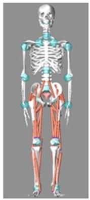 LifeMOD® human body model [14]