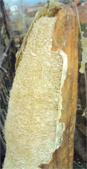 Stage of Luffa cylindrica