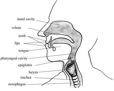 a) View of the vocal tract, b) view of vocal folds in larynx