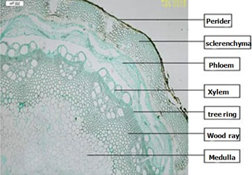 Clematis montana Buch.-Ham. stems
