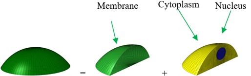 Geometry and an idealized 3D finite element (FE) model of an osteoblast:  a) geometry and b) whole FE modelling