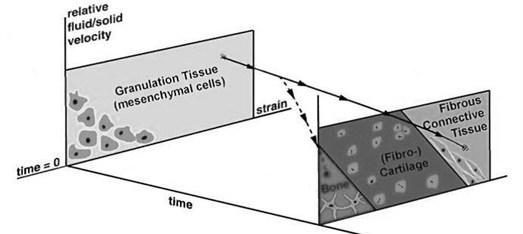 Tissue differentiation scheme proposed by Prendergast et al. [6, 7]