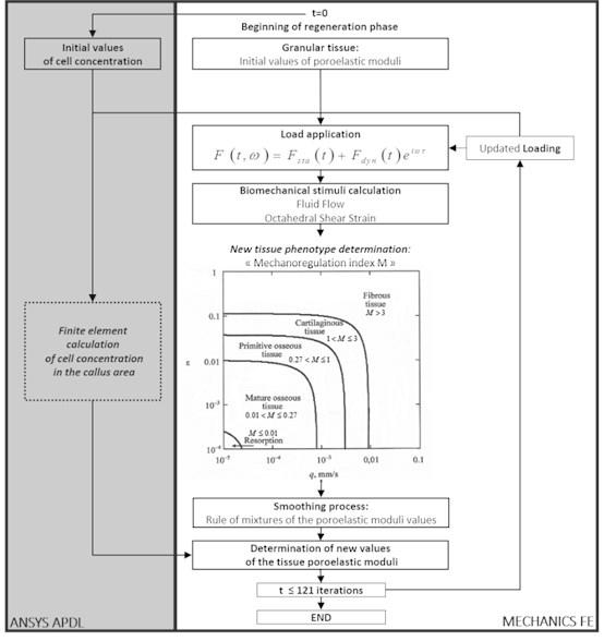 Block-scheme of algorithm describing the biological tissue transformation