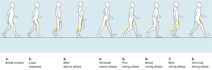 The 8 phases of walking