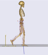 The main muscles around the knee joint