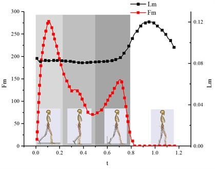 Variation curve of muscle active force Fm versus the  muscle length Lm (vastus medialis muscle)