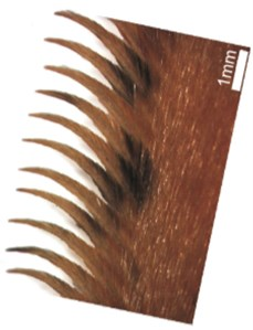 Micro-structure of feather in the tyto alba [41, 42]