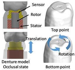 Molar tooth model occlusal condition