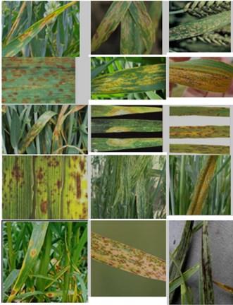 Leaves images of wheat in various diseases. 1 – Septoria Leaf Spot (Septoria), 2 – pirenoforoz (Pyrenophora tritici-repentis), 3 – Powdery mildew (Erysiphe graminis), 4 – brown rust (Puccinia recondita), 5, 6 – yellow rust (Puccinia striiformis), 7 – leaves Septoria Leaf Spot (Septoria tritici), 8 – Snow mold (Fusarium nivale), 9 – blotch (Helminthosporium sativum), 10 – Root rot, 11 – Stripe Mosaic (Wheat streake mosaic virus), 12 – Brown (sheet), rust (Fungal diseases (Puccinia triticina)), 13 – blotch (Pyrenophora tritici-repentis), 14 – Linear (stem) rust (Puccinia graminis), 15 – Head smut (Ustilago tritica)