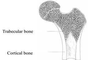 Structure of femur