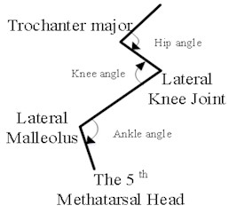 Schematic diagram of rat hind limb skeleton and model of sagittal plane motion